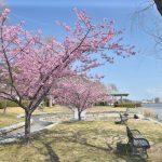 佐鳴湖公園 河津桜