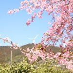 でんでんころの河津桜(滝沢町農免道路直売所周辺)